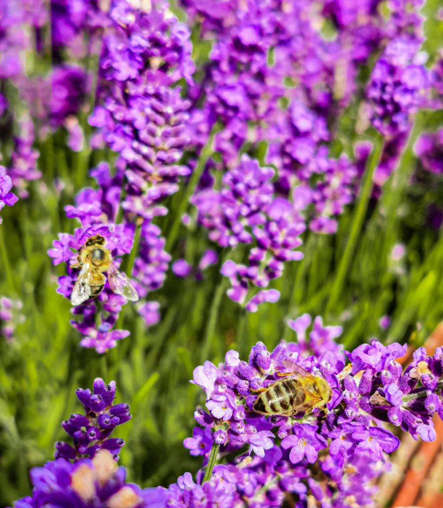 Insekten lieben Lavendel und seinen Duft