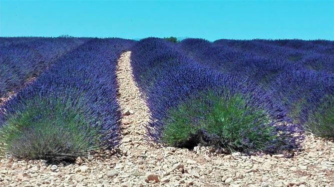 Lavendelfeld in der Provence, Frankreich